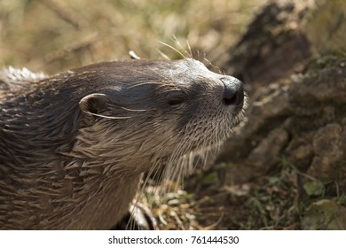 River otter in ZOO