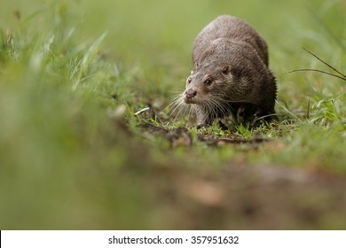 River otter(lutra lutra)/beautiful and playful river otter/Czech Republic