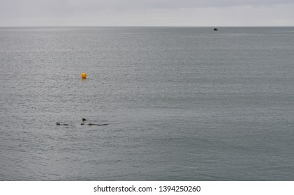 RIver Otters Swimming by a Buoy, Bowman Bay, Deception Pass State Park, Washington.
