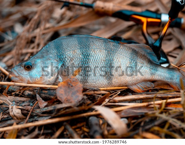 River perch, or common perch (Latin Perca fluviatilis), is a species of ray-finned fish of the genus of freshwater perches of the perch family (Percidae)