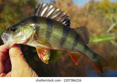 River perch in the hand of the angler on the background of the river