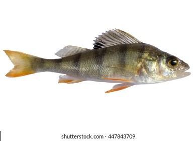 river perch, isolated on white background, striped fry bass
