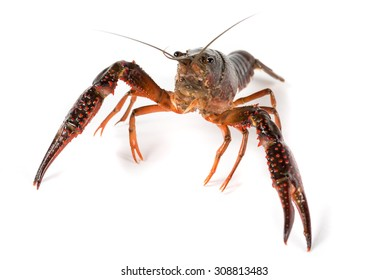 river prawn alive isolated on a white background