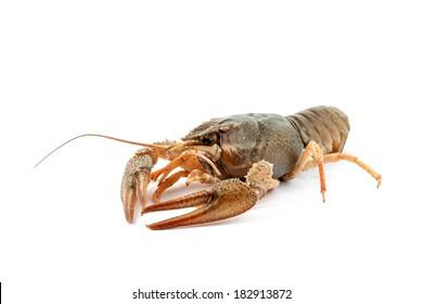 River raw crayfish closeup on white background