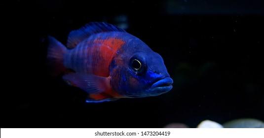 river rocks loachred devil fish green terror skulls clown loach blue acara aquarium aquarium fish cichlids cichlid fish
