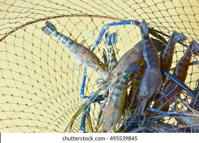 River shrimp or river prawn, Giant freshwater prawn, giant river shrimp