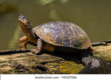 A River Turtle on a log in natural rainforest canal at Tortuguero National Park - Costa Rica