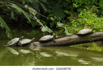 River turtles in the Amazon jungle