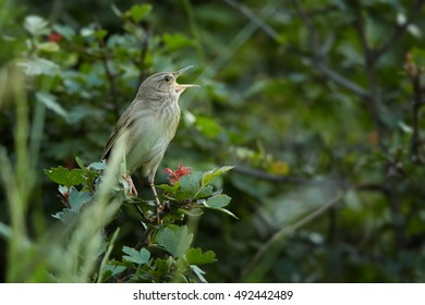 River Warbler, Locustella fluviatilis, european small bird sings like a cricket, male perched on twig and singing with open beak, isolated against green background. Summer, wetlands, Czech republic.