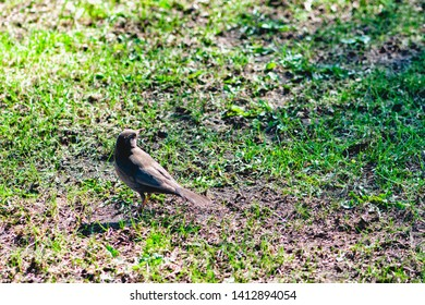 The river warbler (Locustella fluviatilis) is an Old World warbler in the grass warbler genus Locustella. It breeds in east and central Europe into western Asia. It is migratory in east Africa.