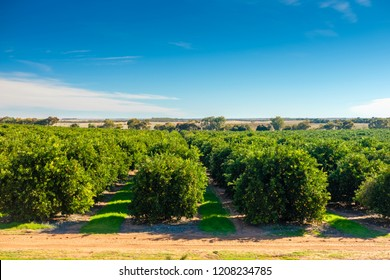 Riverland citrus orchard , South Australia