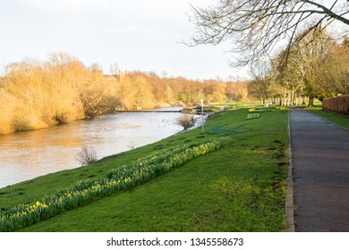 A Riverside Pathway along the River Wear at Chester-le-Street with Daffodils Growing Along the Riverbank