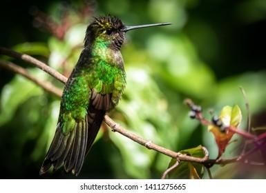 Rivoli's hummingbird or magnificent hummingbird (Eugenes fulgens) at San Gerardo de Dota, Costa Rica.