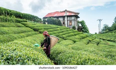 Rize, Turkey - July 2017: Unidentified Tea picker young girl tea garden Rize Turkey East Blacksea