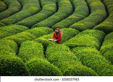 Rize/Turkey-August,12,2017:Girl works for tea harvest