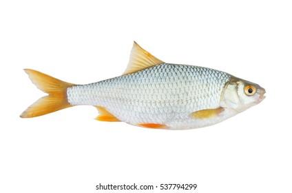 Roach fish or rutilus isolated on white bacjground