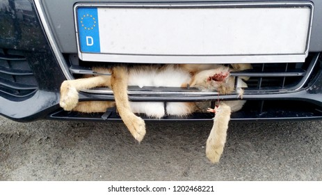 Road accident, bunny collides with the front of the car