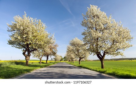 road and alley of flowering cherry trees with beautiful sky