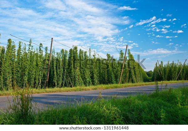 Road along hop field in Zatec hops area. Czech Republic.