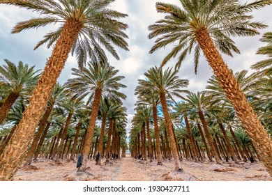 Road among plantation of date palms intended for actually healthy food production. Dates agriculture is rapidly developing industry in desert areas of the Middle East