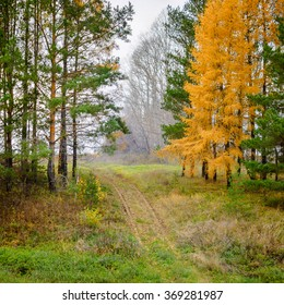 Road and autumn conifer trees, footpath, Russia