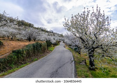 Road between cherry blossoms