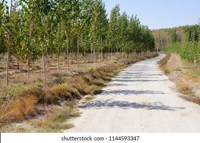 Road between poplar in Fuente Vaqueros, Andalusia, Granada, Spain