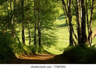 Road in birch forest