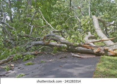 A road is blocked by a large oak tree that has fallen and crumbled across the road blocking the way