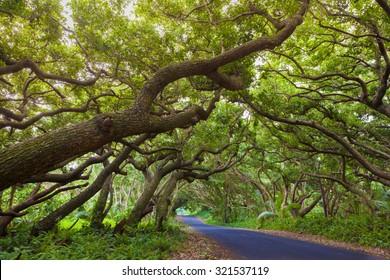 Road covered by tree canopies on Big Island,  Hawaii