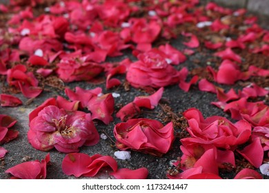 A road covered with fallen red camelia flowers