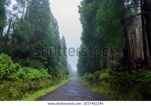 Road in the dense forest with tall trees in the fog on Flores Island, Azores, Portugal