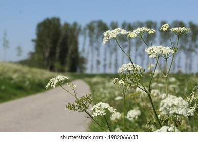a road in the dutch polder landscape in zeeland in springtime with blooming cow parsley in the green verge in front