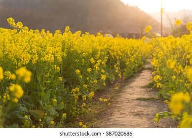 The road of field mustard