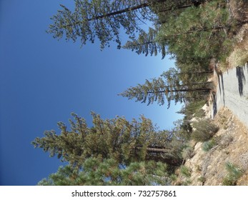 Road leading through a pine forest, California