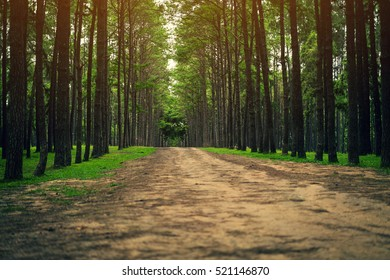 Road path in a pine tree forest. Focus at the back.