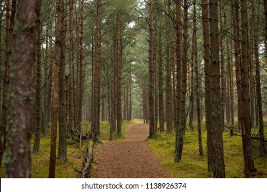 Road in the Pine Forest on the Curonian Spit