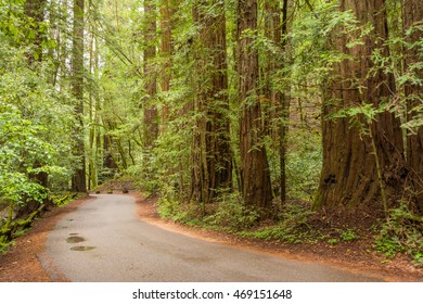 Road in the Redwood Forest at Armstrong Redwoods State Park