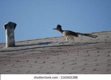 """ROAD RUNNER The greater roadrunner is a long-legged bird in the cuckoo family, Cuculidae, from Southwestern United States and Mexico. The Latin name means """"Californian earth-cuckoo""""."""