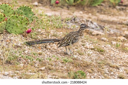 Road Runner in Texas ranch country