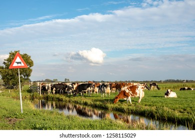 Road sign for crossing cows next to a group of cows on the edge of a ditch, waiting for a fence,in a  landscape of flat land and water and a blue sky with clouds on the horizon.