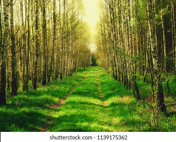 road in a spring birch grove, path in the woods among birches.