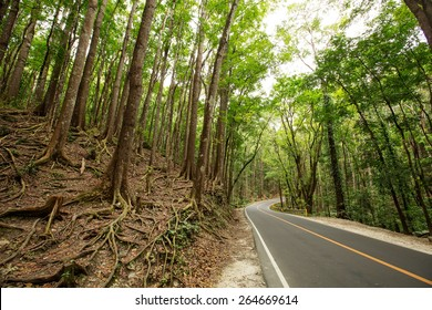Road though Man made Forest at Bohol, Philippines