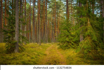 road through the bright pine forest