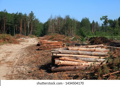 The road through the felling trees. The felled trees in a forest in summer. Large-scale felling. Freshy cut and ready for transportation pine trunks. Forestry industry