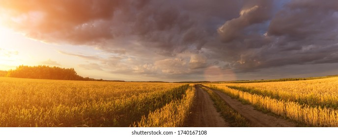 Road through the field with young golden rye or wheat in the summer sunny day with a cloudy sky background. Overcast weather. Landscape.
