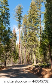 Road through the forest. Sequoia National park in California Sierra Nevada Mountains