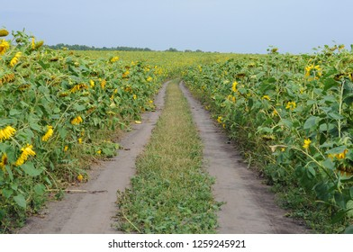The road through the sunflowers.