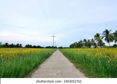 The road through the sunn hemp field, Beautiful landscape yellow flower field, Crotalaria juncea help improve soil organic matter.