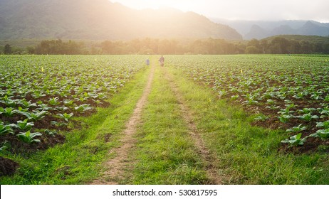 Road in the tobacco field in the sunset time. with man riding motorcycle.